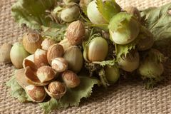 Bunch of green forest hazelnuts. Hazelnuts consumption for a healthy life Royalty Free Stock Photo