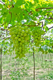 Bunch of green grape fruit Royalty Free Stock Photos