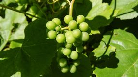 Bunch of green grapes on a branch royalty free stock images