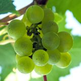 A bunch of green grapes on a branch. The harvest of wine berries. Autumn. Square picture. Royalty Free Stock Photo