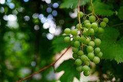 A bunch of green grapes on a branch with leaves Stock Photography