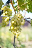 Bunch of green grapes. On a farm Stock Photos