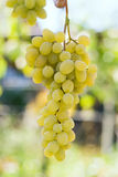 Bunch of green grapes. On a farm Royalty Free Stock Photography