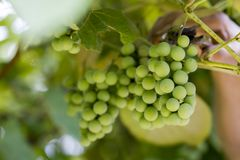 Bunch of green grapes, closeup. Unripe clusters of grapes royalty free stock images