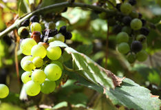 Bunch of green grapes with dried leaves Royalty Free Stock Photography