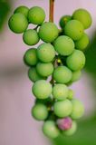 Bunch of green grapes. In Europe Stock Images