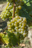 Bunch of green grapes on grapevine Royalty Free Stock Images