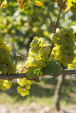 Bunch of green grapes on grapevine Stock Photography