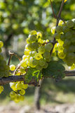 Bunch of green grapes on grapevine Royalty Free Stock Image