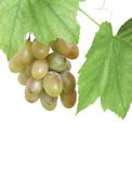 Bunch of green grapes in a grapevine isolated Royalty Free Stock Photo