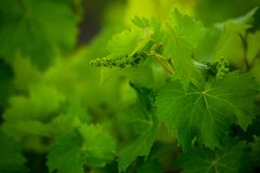 Bunch of green grapes on grapevine. In vineyard stock photography