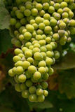 Bunch of green grapes on grapevine in vineyard Stock Photography