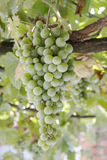 Bunch of green grapes hanging on the vine. On a sunny day Royalty Free Stock Image