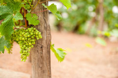Bunch green grapes haning on vine Stock Photography