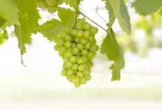 Bunch of green grapes with green leaves on the vine in the garde. N. closeup bunch of fresh grapes Royalty Free Stock Photo