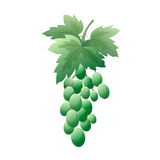 Bunch of green grapes with leaves. On a white background. Royalty Free Stock Photo