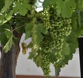Bunch of green grapes in the trellis of a country house stock photo