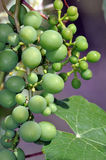 Bunch of green grapes Royalty Free Stock Image