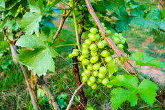 Bunch of green grapes Royalty Free Stock Images