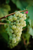 Bunch of green grapes. In vineyard Royalty Free Stock Images