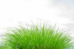 Bunch of green grass Royalty Free Stock Image