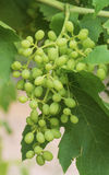 Bunch of Green Immature Sultana Grapes. Stock Photo