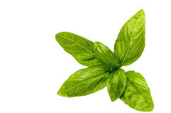 Bunch of green leaves of basil isolated. As background stock photos