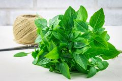 A bunch of green lemon basil with a tangle of twine and scissors on a white concrete table on a brick wall background. A bunch of green lemon basil with a royalty free stock photo