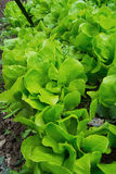 Bunch of green lettuce Stock Photo
