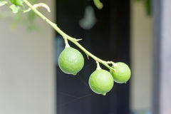A bunch of 3 green limes Royalty Free Stock Photography