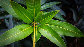 Bunch of green mango leaves Royalty Free Stock Photos