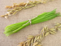 Bunch of green oat grass for smoothie Stock Image