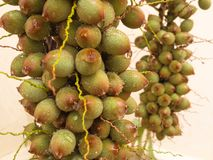 Bunch of green palm fruit seen from close up. Bunch of green palm fruit after summer rain, seen close up on white background Royalty Free Stock Image