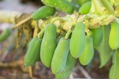 Bunch of green papayas Stock Image