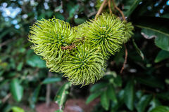 Bunch of green rambutan. Immature stage of rambutan in bunch have green color Royalty Free Stock Images