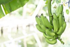 Bunch of green raw banana stock photo