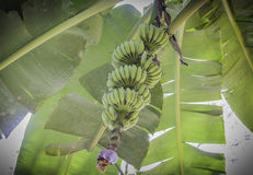 Bunch of green raw bananas on tree. In the garden Stock Photo