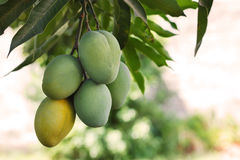 Bunch of green and ripe mango on tree in garden Royalty Free Stock Images