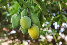 Bunch of green ripe mango on tree in garden Royalty Free Stock Photos