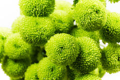 Bunch of green round chrysanthemums Stock Image