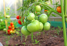 Bunch of green tomatoes on a branch growing in a greenhouse Royalty Free Stock Photos
