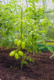 Bunch of green tomatoes on a branch growing in a greenhouse Stock Image