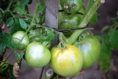 A bunch of green tomatoes(Solanum lycopersicum) Stock Images