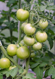 Bunch of green tomatos Royalty Free Stock Photos