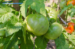 Bunch of green tomatos Royalty Free Stock Image