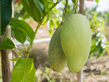 Bunch of green on tree. Selective focus on mango. Selective focus Royalty Free Stock Images