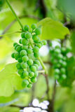 Bunch of green unripe grapes Royalty Free Stock Images