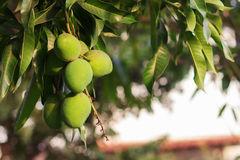 Bunch of green unripe mango on mango tree Royalty Free Stock Photo