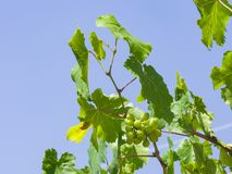 Bunch of green unripe white grapes in leaves growing on vines against blue sky close-up, selective focus, shallow DOF stock image