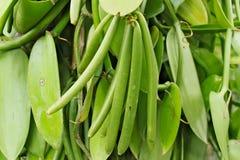 Bunch of green vanilla bean growing on tree. On plantation Royalty Free Stock Image